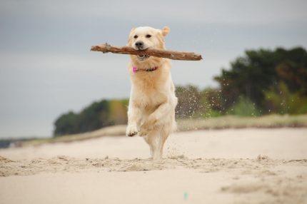 Hund mit Stock am Strand