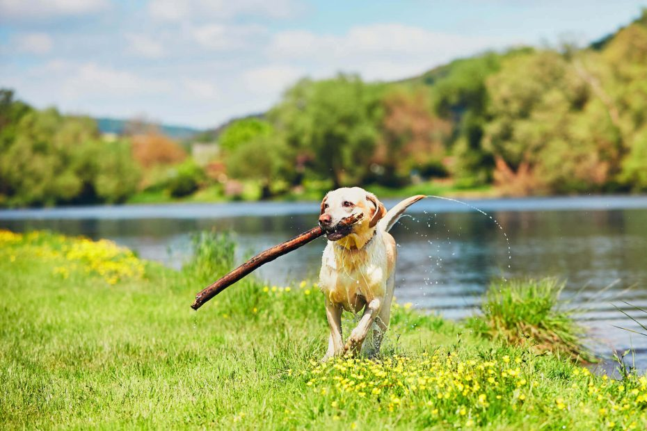 Hund mit Stock auf Wiese
